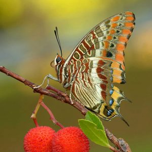 farfalla-corbezzolo