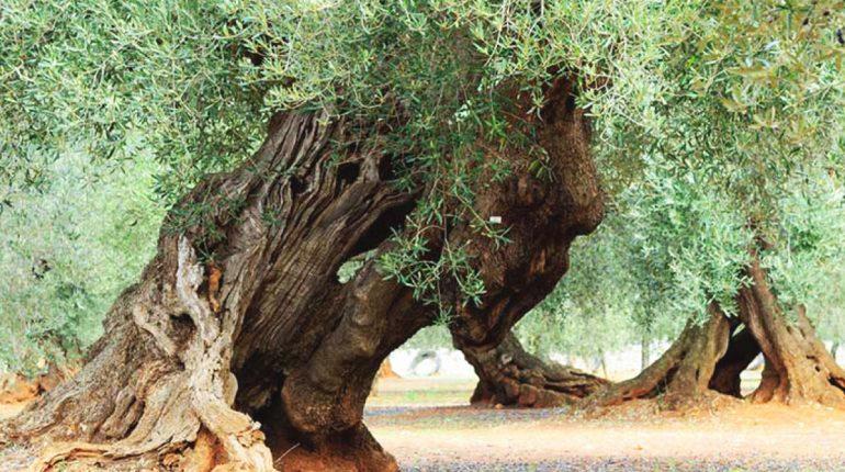 Olivo della strega di Manciano
